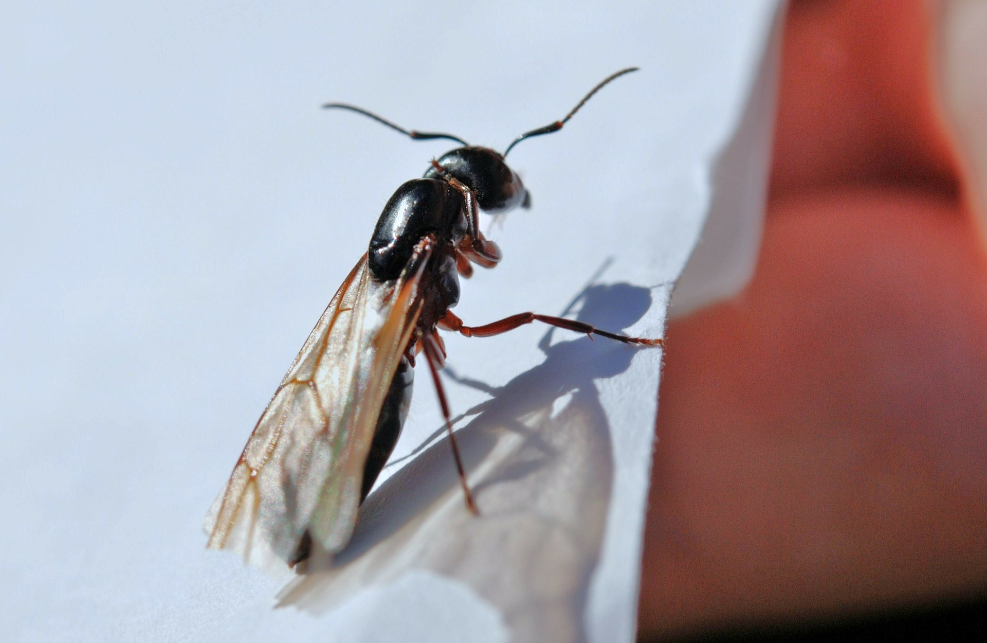 Tampa Termite Control Identifying The Difference Between Termites And Flying Ants